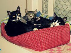 Three cats One bed Three Cats, One Bed, Dee Dee, Curling, Cat Love, Tote Bag, Photos, Bags, Handbags