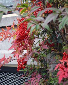 Tuinblog | Tuinatelier Herman & Vermeulen : Nandina of hemelse bamboe Lush Garden, Garden Plants, Nandina Plant, Flower Pot Tower, Stone Mailbox, Mason Jar Planter, Raised Planter, Winter Garden, Garden Inspiration