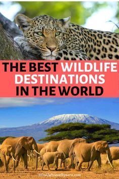 Looking for the Best Wildlife Holidays in the World & Ethical Animal Experiences? Check out these wildlife vacations from tiger safaris in India, whales & bears in Canada to elephants in Kenya! See animals in natural habitats & have the best wildlife encounters ever! Best Holiday Destinations for Wildlife Lovers, Wildlife photography, Wildlife conservation, Wildlife animals, Wildlife travel adventure, Wildlife destinations, Africa, Costa Rica, Uganda #responsibletravel #wildlife…