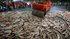 Des tonnes d'ivoire détruites aux Philippines : Les autorités Philippines ont voulu dans un premier temps brûler les défenses mais y ont renoncé devant les protestations de défenseurs de l'environnement, qui s'inquiétaient de feux importants en plein air. Un rouleau-compresseur a tenté de les broyer mais elles étaient trop dures.