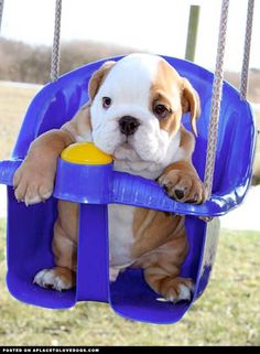 Baby Bulldogs | baby bulldog in a swing