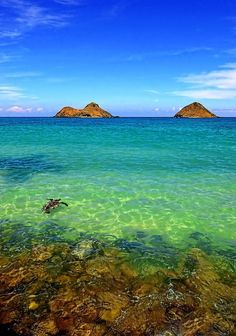 Sea turtle and sea,is crystal clear Lanikai at Oahu Hawaii