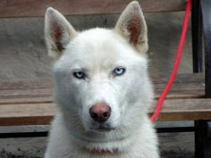 SAFE Manhattan Center  OMEGA - A0972505  FEMALE, WHITE, SIBERIAN HUSKY MIX, 2 yrs STRAY https://www.facebook.com/photo.php?fbid=643735682305981=pb.152876678058553.-2207520000.1374439737.=3