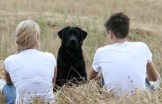dog - labrador