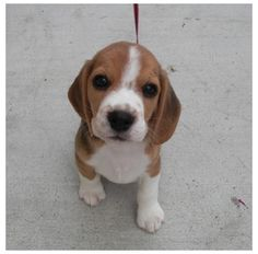 Puppy beagle wants a treat