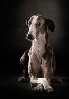 Galgo Espanol - health - Tap the pin for the most adorable pawtastic fur baby apparel! You'll love the dog clothes and cat clothes! <3