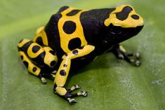 Google Image Result for http://www.tnaqua.org/Libraries/Amphibians/YellowBandPoisonDartFrog.sflb.ashx