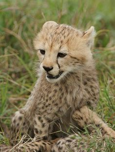 ~~A Beautiful Cheetah Cub by Olivier DELAERE~~