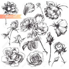 Flower Set: Highly Detailed Hand Drawn Roses. Royalty Free Cliparts, Vectors, And Stock Illustration. Image 12132203.