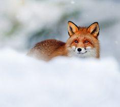 Red Fox by Mark Davies