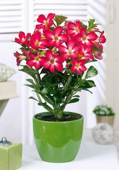 European Rose plant