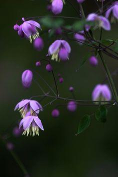 Millwood Plants (@MillwoodPlants) | Twitter   Thalictrum delavayi