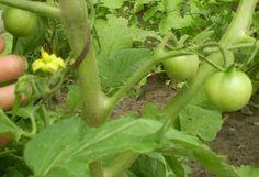 Mnoho ľudí vo svojich záhradkách nepoužíva žiadne chemické hnojivá. Vďaka tomu máme síce jabĺčka a mrkvu, ktoré nie sú dokonalé, no aspoň vieme, že sú 100-krát zdravšie. Nie sú však pesticídy ako pesticídy. Tie domáce a prírodné hnojivá sú v poriadku, hlavne ak si ich vyrobíte sami, a teda presne viete, čím rastlinky hnojíte. Efekt …