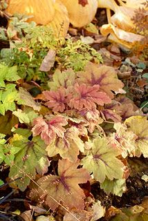 Heucheras or coral bells. Need partial shade and are semi evergreen. A+