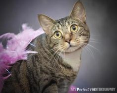 Petango.com – Meet Tiffany, a 3 years 6 months Domestic Shorthair / Mix available for adoption in NORTH MIAMI BEACH, FL
