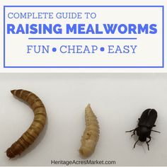 Starting a mealworm farm is cheap, easy and fun! They are also the favorite treat of my chickens and the wild birds. Even my husband appreciates them come fishing season. Meal Worms Raising, Mealworm Farm, Chicken Feed, Wild Birds, Helpful Hints, Canoeing, Kayaking, Raising Mealworms, Snowboarding
