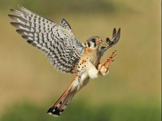 American Kestrel (Falco sparverius) set for landing at nest with grasshopper for hungry chicks. Pretty Birds, Beautiful Birds, American Flag Drawing, American Kestrel, Funny Birds, Draw On Photos, Bird Pictures, Birds Of Prey, Wild Birds