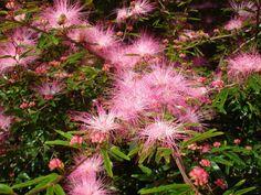 Topete-de-cardeal - Calliandra brevipes Benth.???