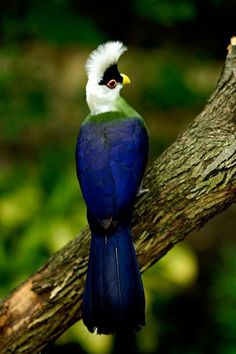 The White-Crested Turaco (Tauraco leucolophus) is a turaco, a group of near-passerines. The white-crested turaco is native to riverine forest and woodland in a belt between eastern Nigeria and western Kenya. Mais