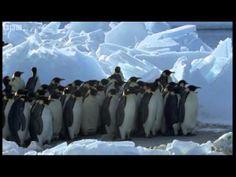 King penguin video YouTube