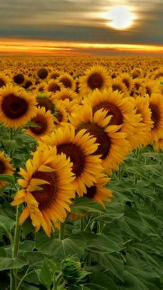 Kansas - Topeka, Endless Fields Of SunflowersMore Pins Like This One At FOSTERGINGER @ PINTEREST No Pin Limitsでこのようなピンがいっぱいになるピンの限界