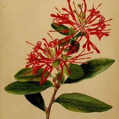 Embothrium coccineum - Chile Geo, Chile, Tatoo, Painting & Drawing, Plants, Needlepoint, Flowers, Drawings, Chili
