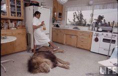 tout ceci est magnifique: Lions, Lions & More Lions  Michael Rougier, ca. 1970s [LIFE Magazine]
