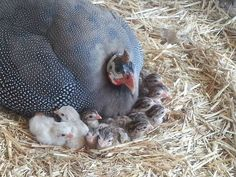 An introduction to keeping Guinea Fowl
