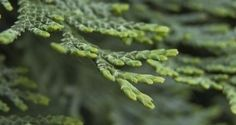 Tre vintergrønne planter til balkongen