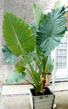 Alocasia Oreille d'éléphant, Alocasie à grandes racines, Taro géant, Alocasia