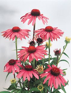 "Echinacea purpurea Primadonna  Coneflower  Type: Perennials  Height: Medium 34"" (Plant 16"" apart)  Bloom Time: Early Summer to Early Fall  Sun-Shade: Full Sun to Half Sun/ Half Shade"