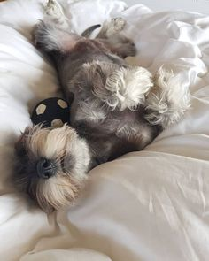 More About Miniature Schnauzer Pups You are in the right place about Pet photography winter Here we offer you the most beautiful pictures about the themed Pet photograph. Schnauzers, Schnauzer Puppy, Miniature Schnauzer, Dachshunds, Doggies, Cute Puppies, Cute Dogs, Most Popular Dog Breeds, Sleeping Dogs