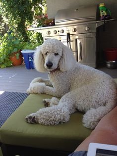 Isabella, summer 2014. Fall Fest, Little People, Summer 2014, Life Is Good, Best Friends, I Am Awesome, Doodles, Standard Poodles, Puppies