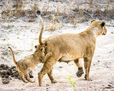 Bringing up the rear: A playful lion cub follows its mother a bit too closely in this picture