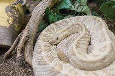 Albuquerque Rattlesnake museum_by_Laurence Norah Albequerque New Mexico, Melanistic Animals, Albuquerque News, Mexico Travel, Plan Your Trip, Things To Do, Road Trip, Museum, Pistachios
