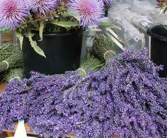 «La lavande, symbole de la Provence» | Les Chercheurs de Midi Marseille-Provence 2013