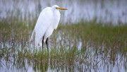 hd great egret bird wallpaper download
