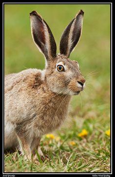 white tailed jackrabbit - Google Search