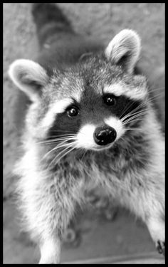 Waschbaer - raccoon by ~minipliman on deviantART