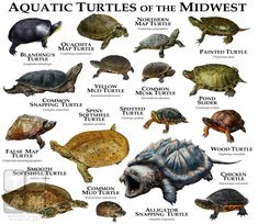Items similar to Freshwater Turtles of the Midwest Art Print / Field Guide on Etsy Common Snapping Turtle, Alligator Snapping Turtle, Chelydra Serpentina, Musk Turtle, Spotted Turtle, World Turtle, Turtle Pond, Blanding's Turtle, Turtle Care