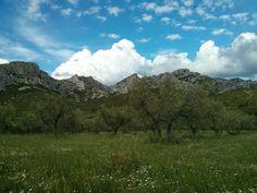 Champs d'oliviers au pied des Alpilles