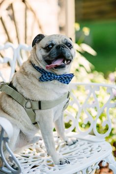 Dapper Pug|Navy & Co