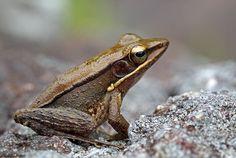 Bronzed Frog (Hylarana temporalis)