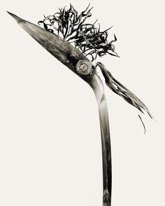 Giliandria Esfolicorcia, especie de la serie 'Herbarium'. JOAN FONTCUBERTA