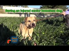 An Injured Homeless Senior Dog Gets A Chance At Happiness.****Posted August 3, 2015*****vms.