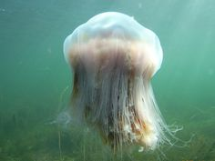 The largest known species of the Lion's Mane Jellyfish had a bell (body) with a diameter of 2.29 m and tentacles 37 meters long. Only 6% of a jellyfish is solid matter, the rest is water.