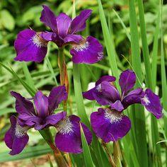 Iris Sibirica Teal Velvet