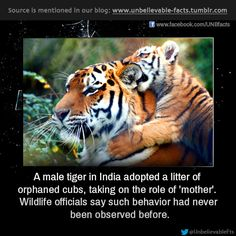 unbelievable-facts: a male tiger in India adopted a litter of orphaned cubs, taking on the role of 'mother'. Wildlife officials say such b. Animals And Pets, Baby Animals, Funny Animals, Cute Animals, Wild Animals, Animal Babies, Exotic Animals, Exotic Pets, Beautiful Creatures