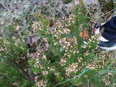 Kanerva  calluna vulgaris Latokaski maston vierestä