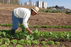 Agricultura Urbana na América Latina: Uma opção real de alimentação para nossas cidades?
